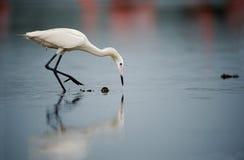 The snowy egret (Egretta thula) Stock Photos