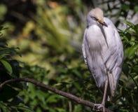 Snowy Egret (Egretta thula) Stock Images