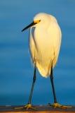 Snowy egret (Egretta thula) Royalty Free Stock Image