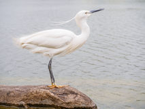 Snowy Egret (Egretta thula) Standing on rocks in the water Stock Photography