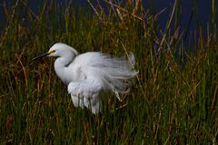 Snowy Egret (Egretta thula) standing in tall grass. Royalty Free Stock Photo