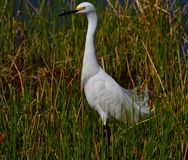 Snowy Egret (Egretta thula) standing in tall grass. Royalty Free Stock Photography