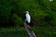 Snowy Egret (Egretta thula) standing on tree branch. Stock Photo