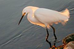 Snowy Egret Royalty Free Stock Photo