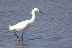 Snowy Egret (Egretta thula) in Water Stock Image