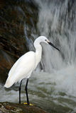 Snowy Egret, Egretta thula, white heron bird in the stone rock waterfall, India. Snowy Egret, Egretta thula, white heron bird in the stone rock waterfall Stock Photo