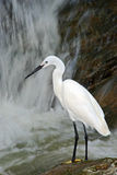 Snowy Egret, Egretta thula, white heron bird in the stone rock waterfall, India. Snowy Egret, Egretta thula, white heron bird in the stone rock Royalty Free Stock Photo