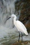 Snowy Egret, Egretta thula, white heron bird in the stone rock waterfall, India Royalty Free Stock Photo
