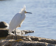 Snowy egret (Egretta thula) at a windy day Royalty Free Stock Images