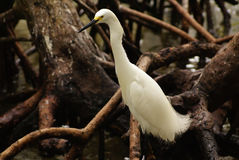 Snowy Egret (Egretta tIndias, Colombia, South Americahula), Rosario Archipelago, Cartagena de Royalty Free Stock Photos
