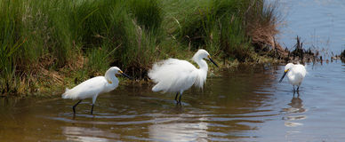 Snowy egret exhibiting breeding plumage Royalty Free Stock Image
