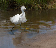 Snowy egret exhibiting breeding plumage Royalty Free Stock Photo