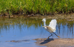 Snowy egret exhibiting breeding plumage Stock Image