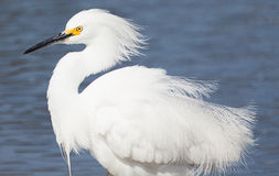 Snowy Egret with feathers blowing in wind Stock Photos