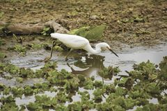 Snowy egret feeding at Orlando Wetlands Park. Snowy egret, Egretta thula, feeding among water lettuce plants, Pistia stratiotes, in a swamp at Orlando Wetlands royalty free stock images