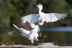 Snowy Egret Fight Stock Image