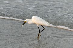Snowy Egret with Fish Stock Photos