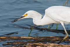 Snowy Egret with Fish Stock Photography