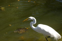 Snowy egret with fish in beak Stock Images