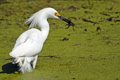 Snowy Egret With Fish Royalty Free Stock Photography