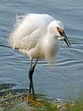Snowy Egret With Fish Royalty Free Stock Photos