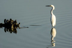 Snowy egret and fish. Snowy egret at Huntington Beach State Park Royalty Free Stock Image