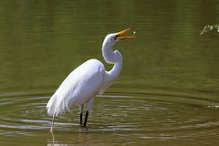 Snowy Egret with Fish !. A Snowy Egret at a pond catching a fish Royalty Free Stock Photo