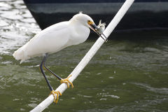 Snowy Egret With a Fish. Snowy egret struggles with a fish he just caught as he balances on a rope hawser. part of the bow of a boat is visible in the background stock image
