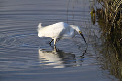 A Snowy Egret Fishing for Lunch Royalty Free Stock Photography