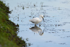 A Snowy Egret Fishing for Lunch Stock Photos