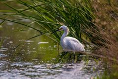 The Snowy Egret is Fishing at Malibu Lagoon Royalty Free Stock Photography