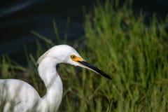 The Snowy Egret is Fishing at Malibu Lagoon Stock Photos