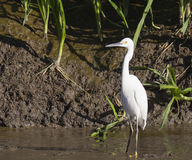 Snowy egret fishing in marsh Stock Photo