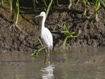 Snowy egret fishing in marsh Stock Images