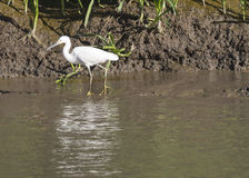 Snowy egret fishing in marsh Royalty Free Stock Image