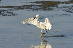 A Snowy Egret fishing for a meal Stock Photos