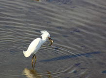 Snowy Egret fishing. Off the coast of California Royalty Free Stock Photo