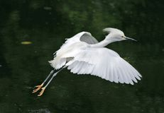 Snowy egret in flight royalty free stock photos