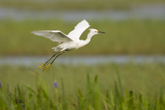 Snowy Egret in flight across the everglades. A Snowy Egret taking flight across the everglades Swamp Royalty Free Stock Images