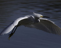 Snowy egret in flight. This elegant, white bird glides across the riparian pond Royalty Free Stock Photo