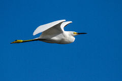Snowy Egret in Flight. A snowy egret flying over a salt marsh in Florida, USA Royalty Free Stock Photo