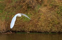 Snowy Egret in flight. Snowy Egret flying over water Stock Photo