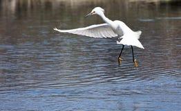 Snowy Egret in flight landing in water Royalty Free Stock Photos