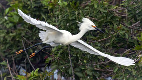 Snowy Egret in Flight Stock Photo