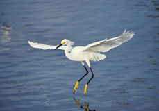 Snowy Egret in flight Stock Photography