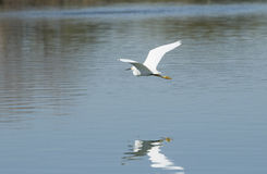 Snowy Egret in flight over the lake Royalty Free Stock Photos