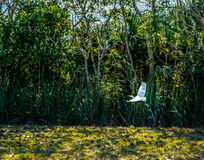 Snowy Egret in Flight over Lake. Stock Photography