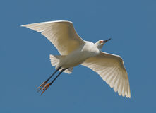 Snowy egret. A snowy egret in flight seen from below in a park in Florida Royalty Free Stock Image