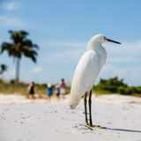 Snowy Egret on Florida Beach Stock Photo