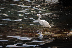 Snowy egret in Florida Stock Images